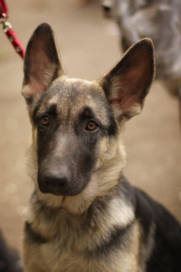 Pastor alemán del perrito triste lindo fotografía de archivo
