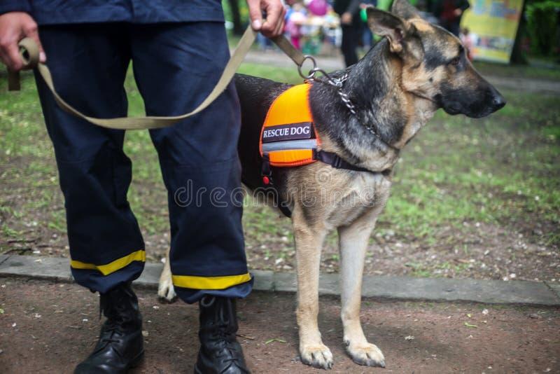 Pastor alem?n del perro del rescate con un salvador en la calle foto de archivo