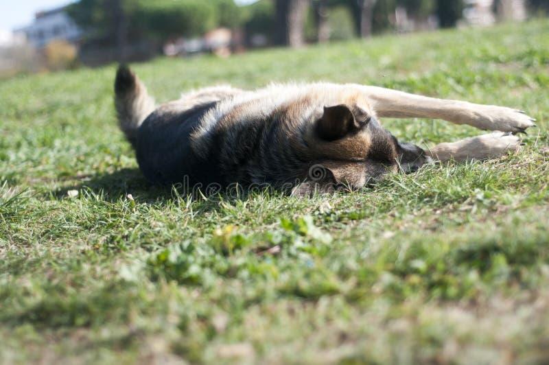 Pastor alemán Dog foto de archivo