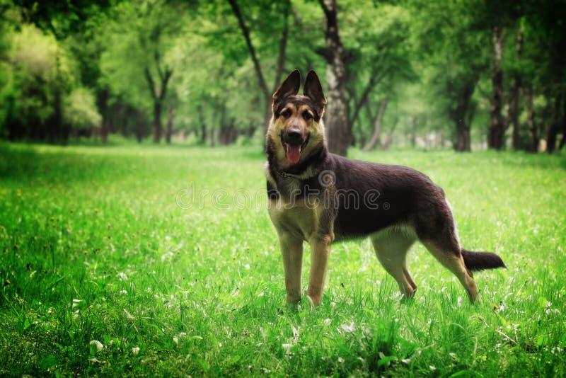 Pastor alemán Dog imágenes de archivo libres de regalías