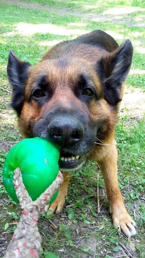 Pastor alemán Dog que juega la tracción de la bola fotos de archivo