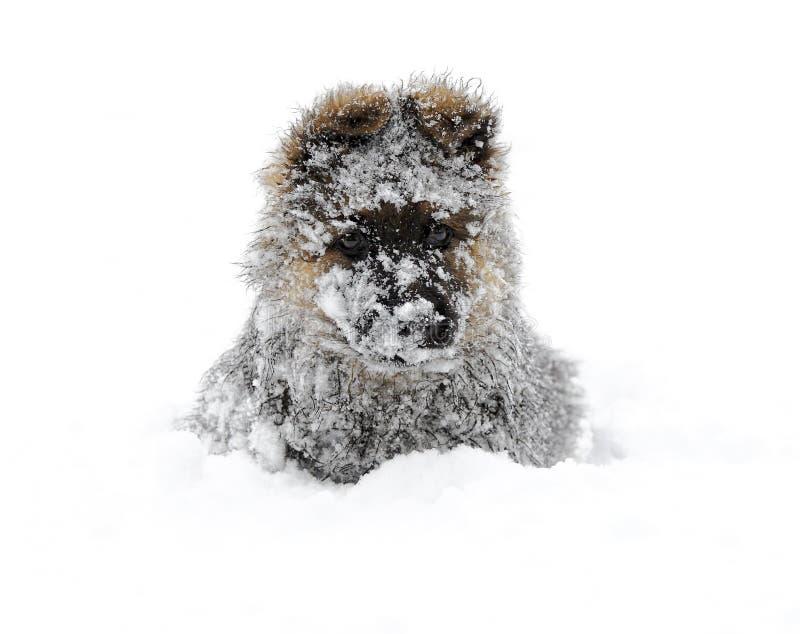 Pastor alemán en la nieve imagen de archivo