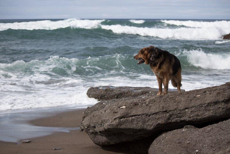 Pastor alemán en la playa foto de archivo