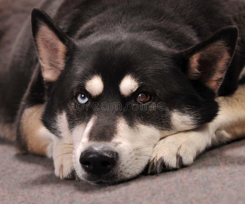 Pastor alemán hermoso Husky Mix Dog Looking Bored imagen de archivo libre de regalías
