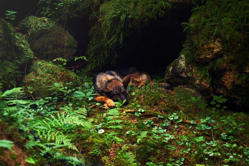 Pastor alemán que duerme, perro pastor que pone en la piedra imagen de archivo