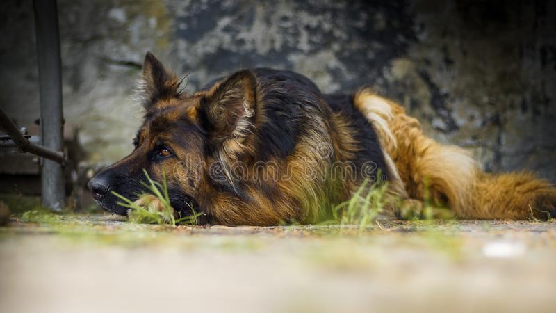 Pastor alemão adulto em uma foto do retrato Um grande cão encontra-se pacificamente em um cubo concreto Profundidade de campo peq foto de stock