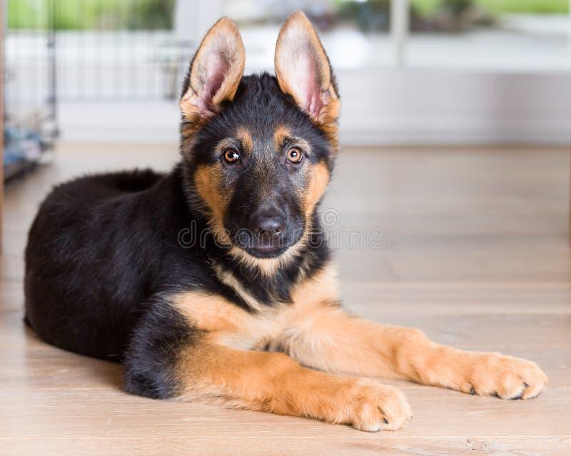 Pastor alemão bonito de cão de cachorrinho no assoalho de madeira foto de stock
