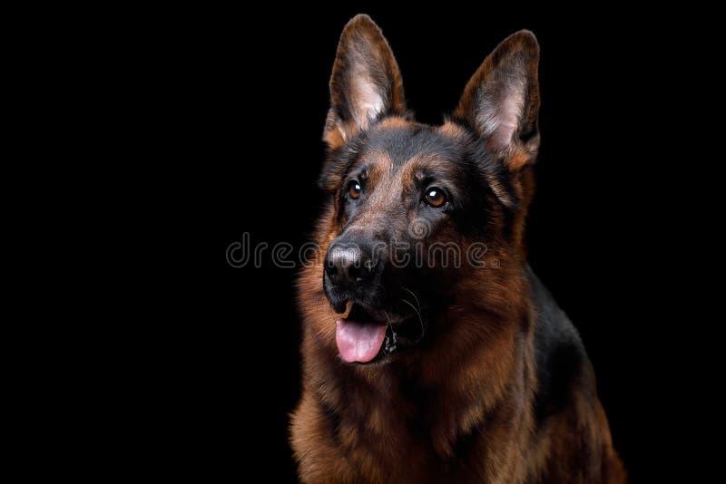 Pastor alemão do cão em um fundo preto fotografia de stock royalty free