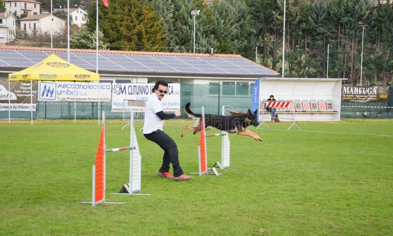 Pastor alemão durante uma competição do cão da agilidade fotos de stock