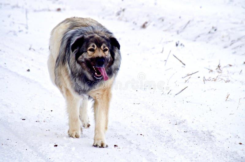 Pastor alemão híbrido Great Pyrenees Dog fotografia de stock