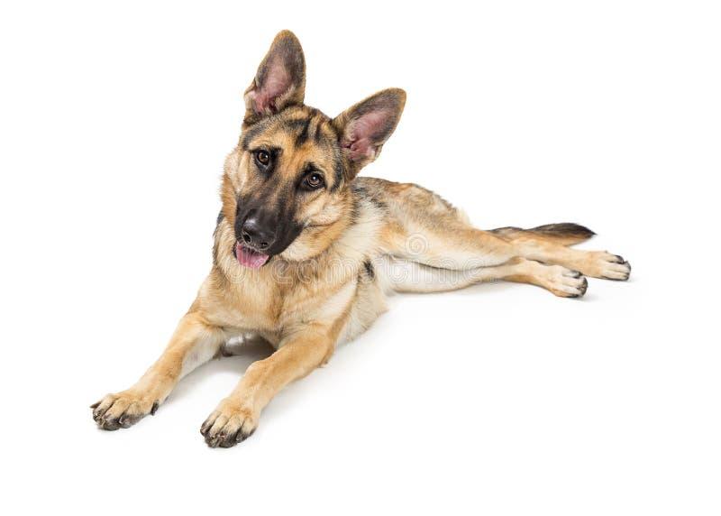 Pastor alemão Happy Attentive Dog fotografia de stock