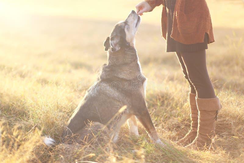 Pastor alemão Mix Dog Sitting bom e que obtém o deleite de Owne foto de stock