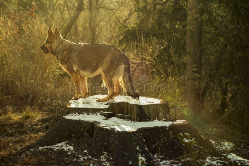 Pastor alemão na natureza da floresta do inverno foto de stock