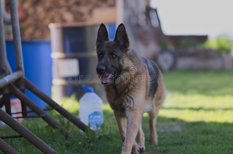 Pastor alemão novo bonito de passeio Dog Close Up de Brown fotografia de stock
