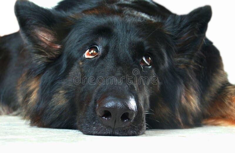 Pastor alemão preocupado, desanimado, de pensamento Dog fotografia de stock royalty free