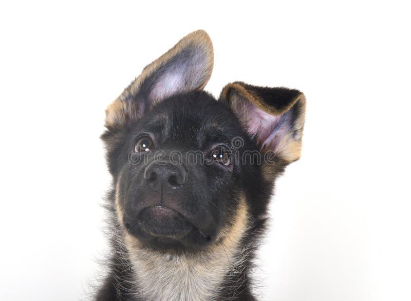 Pastor alemão Puppy fotografia de stock royalty free