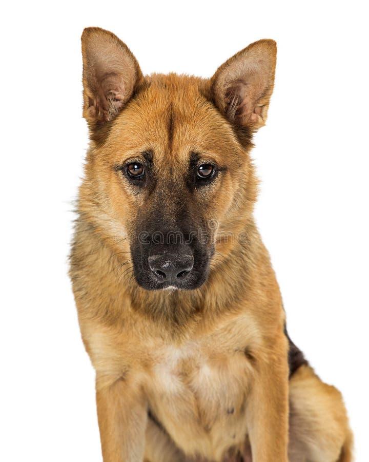 Pastor alemão tímido Dog do close up foto de stock royalty free