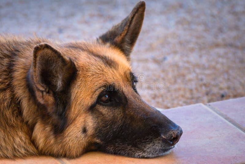 Pastor alem?n en el prado Retrato ascendente cercano de un perro de pastor alemán joven cansado en el campo imagenes de archivo