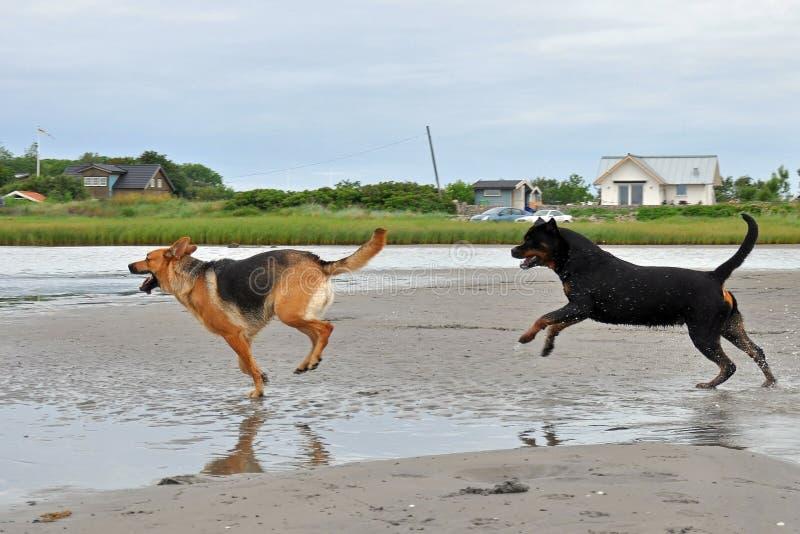 Pastor alem?o e um Rottweiler que joga na praia fotos de stock royalty free