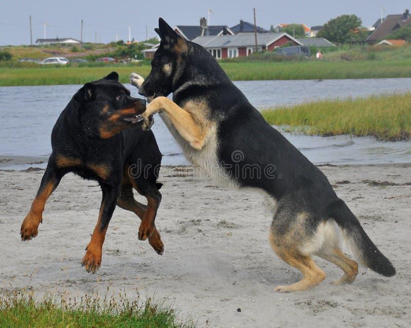 Pastor alem?o e um Rottweiler que joga na praia fotografia de stock royalty free