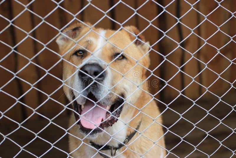 Pastor asiático central Dog (Alabai) fotografia de stock