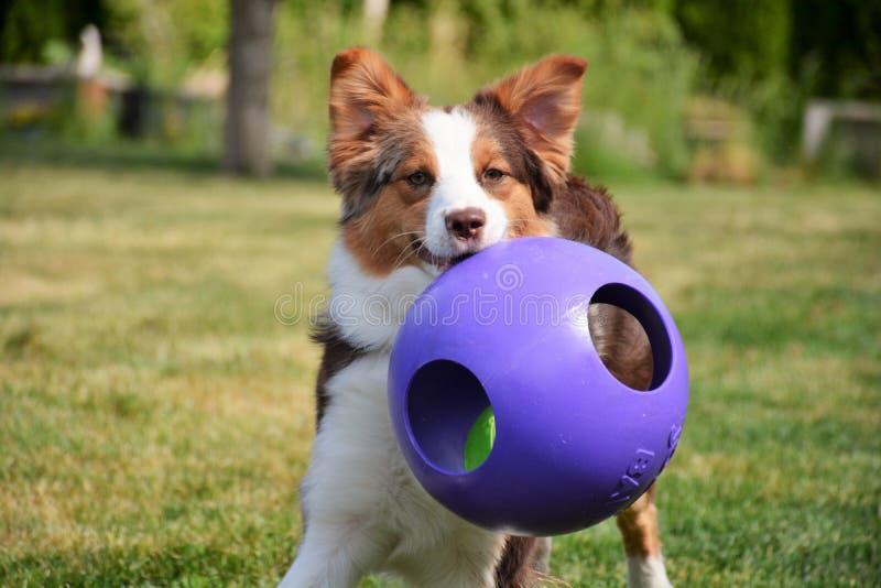 Pastor australiano; Aussie que juega en la yarda; perro feliz fotografía de archivo libre de regalías