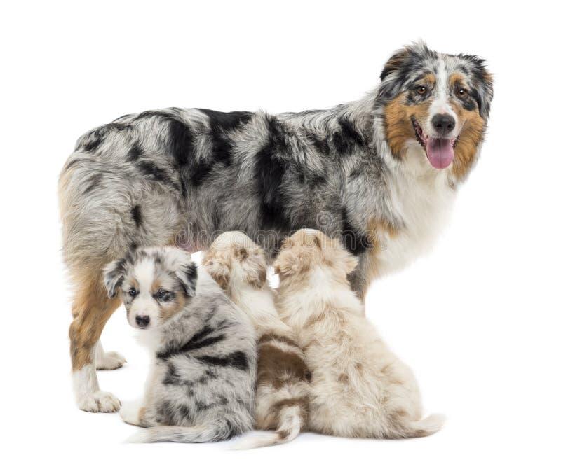 Pastor australiano da matriz com três filhotes de cachorro imagens de stock royalty free