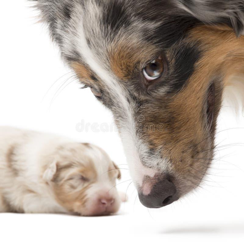 Pastor australiano de la madre y su perrito imágenes de archivo libres de regalías
