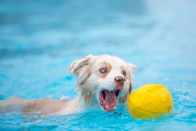 Pastor australiano Dog Grabbing Football na água foto de stock royalty free