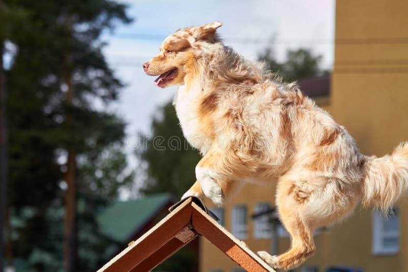 Pastor australiano em um obstáculo no treinamento da agilidade do cão fotografia de stock