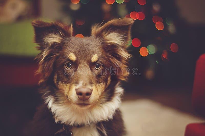 Pastor australiano Pup con las luces de la Navidad fotografía de archivo