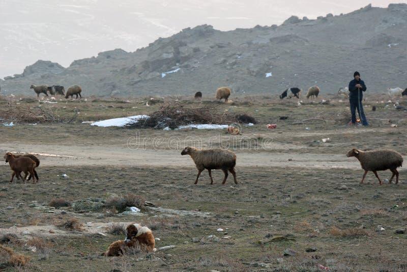 Pastor azerbaiyano con la multitud de ovejas y del perro fotos de archivo