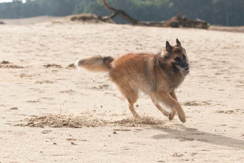 Pastor belga Dog, com a bola na areia fotos de stock royalty free