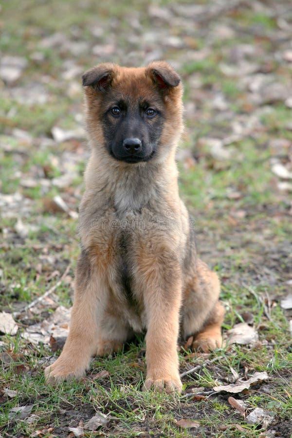 Pastor belga Dog no jardim do outono fotografia de stock royalty free