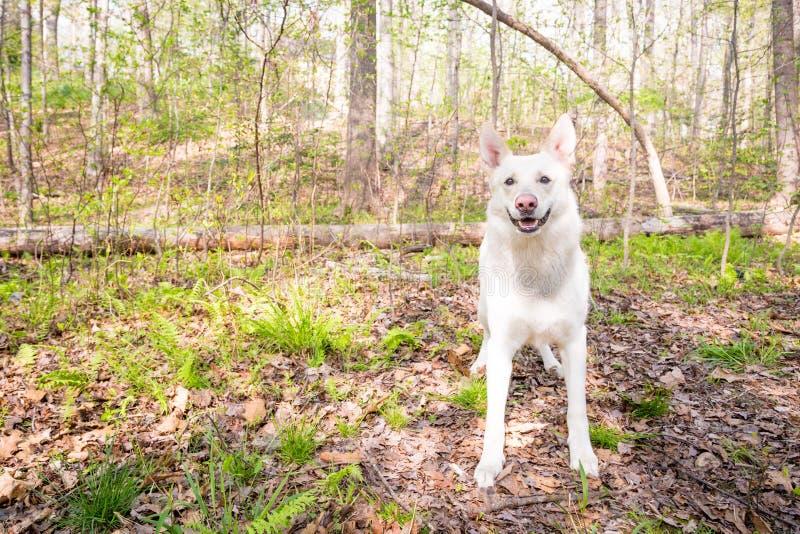 Pastor branco feliz Dog nas madeiras fotografia de stock