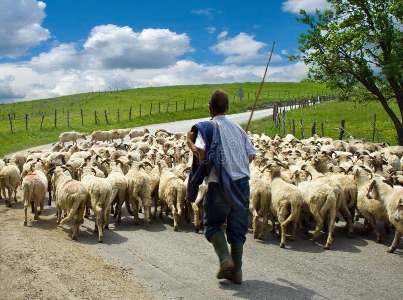 Pastor com seu rebanho dos carneiros foto de stock royalty free