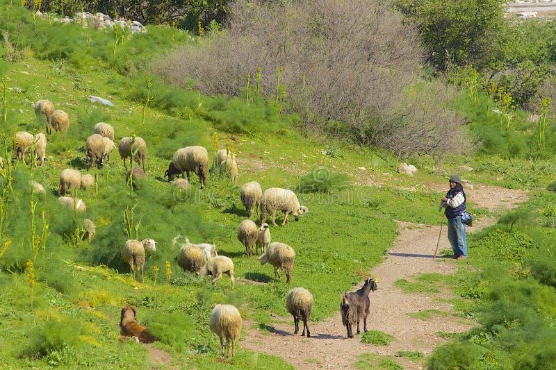 Pastor com seus carneiros, Turquia imagens de stock