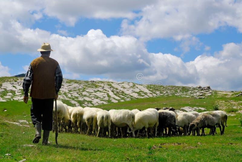 Pastor con sus ovejas fotografía de archivo