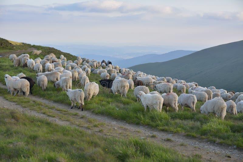 Pastor con sus ovejas foto de archivo libre de regalías