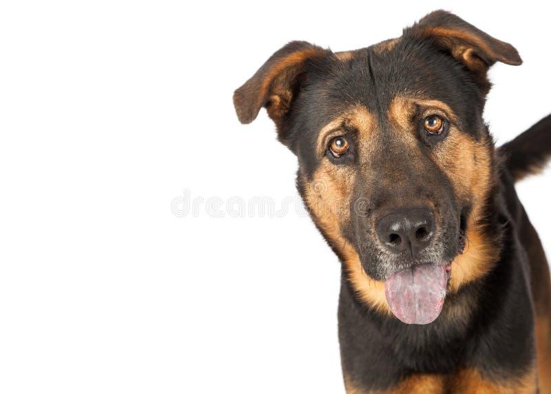 Pastor Cross Dog Closeup com espaço da cópia imagens de stock