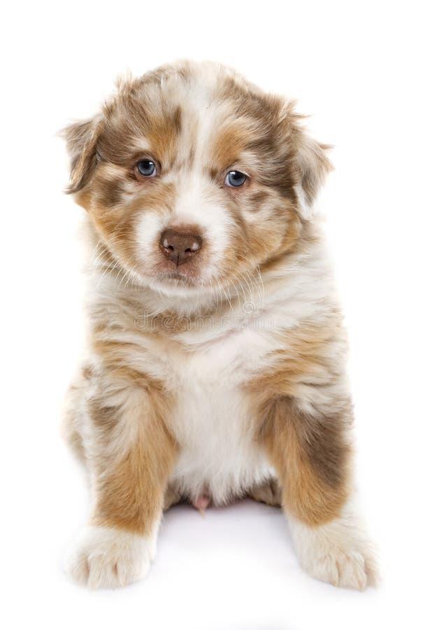 Pastor do australiano do cachorrinho fotografia de stock royalty free