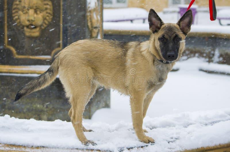 Pastor do belga do cachorrinho fotos de stock royalty free