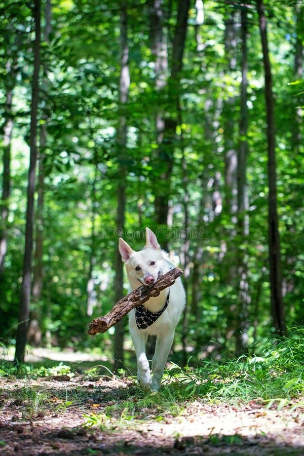 Pastor Dog Running nas madeiras com log de madeira grande foto de stock