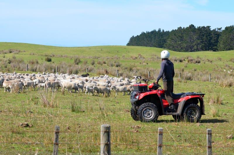 Pastor durante las ovejas que reúnen en Nueva Zelanda foto de archivo