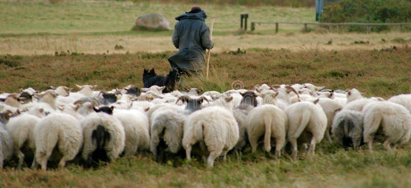 Pastor e seus carneiros fotos de stock royalty free