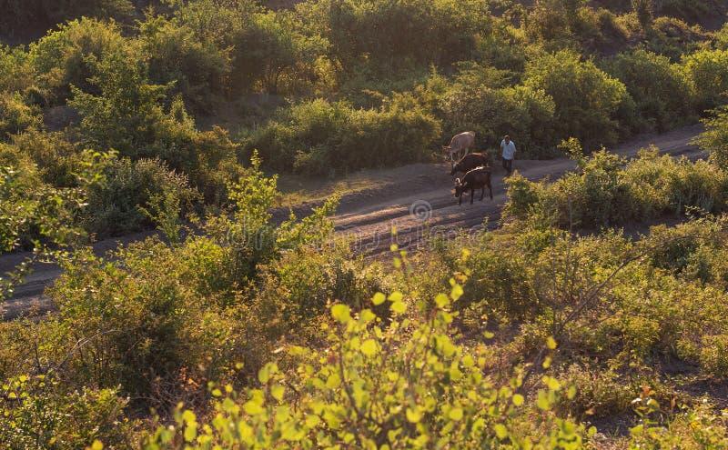 Pastor e vacas em uma estrada de terra da montanha fotos de stock