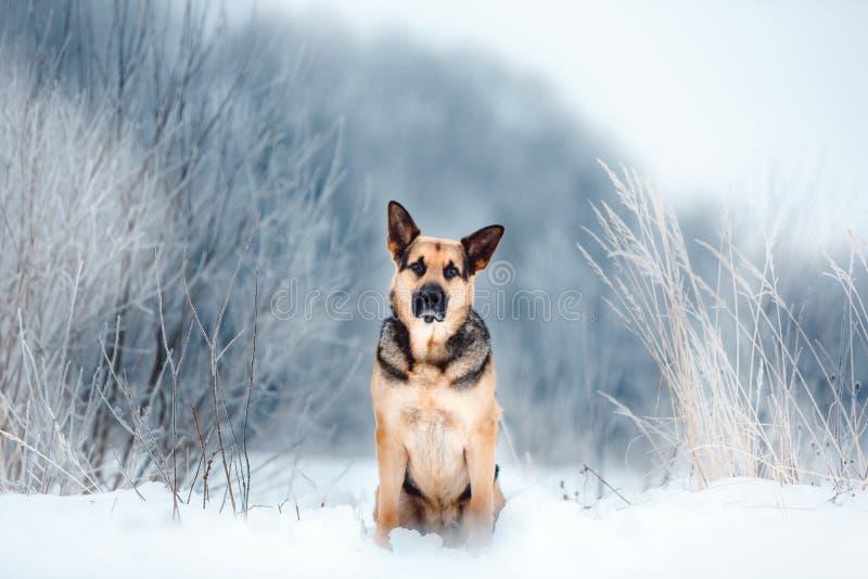 Pastor europeu do leste bonito no inverno nevando fotografia de stock