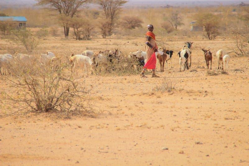 Pastor fêmea africano do tribo de Samburu um tribo relacionado do Masai em um traje nacional que reune um rebanho das cabras imagem de stock