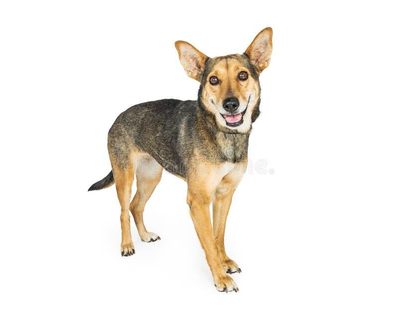 Pastor feliz Corgi Dog Standing no branco imagens de stock