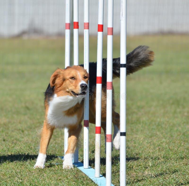 Pastor inglês na experimentação da agilidade do cão imagem de stock royalty free